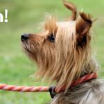 ADOPTED! Finnegan – The Sweetest Silkiest Terrier!