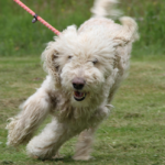ADOPTED! Seve – Poodle on the Green!
