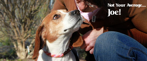 ADOPTED! Joe the Beagle – Not Your Average Joe