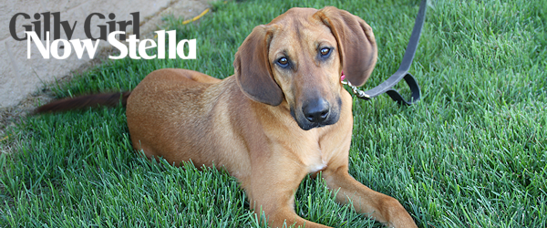 ADOPTED! Saintly Gilly – Now Stella – Living Up to Her New Name