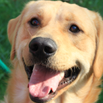 ADOPTED! Trex – A Golden/Lab People-Lover Blend!