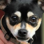 ADOPTED! Chiqui – A Cheekie Little Chihuahua