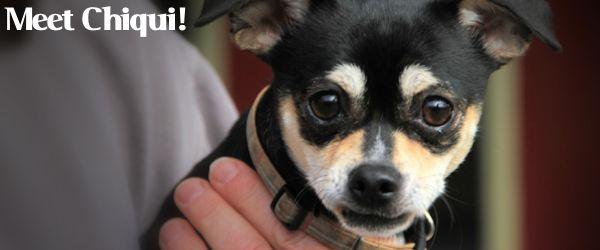 ADOPTED! Chiqui – A Cheekie Little Chihuahua