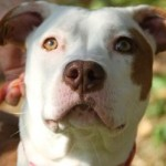 Lucy - Adoptable Pitty Pup