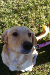 Blix - Adoptable Yellow Lab Mix