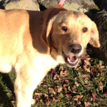 ADOPTED! Blix – The People, Pets and Life Loving Lab!