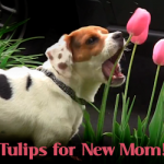 Rescued Mill Puppy Picks Tulips for New Mom on Mother's Day!