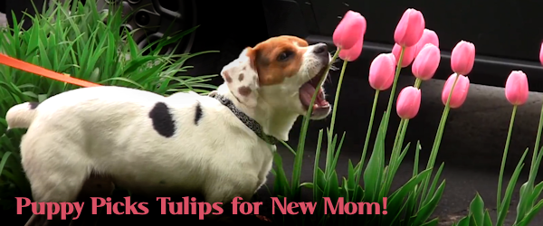 Rescued Mill Pup Picks Tulips for New Mom on Mother's Day!