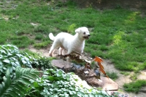Polly, the Bichon Fris