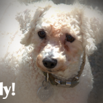 "ADOPTED! Polly – The Bichon ""Fris Spirit"""