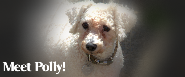 Polly, the Bichon Fris