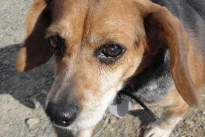 Bayly Beagle