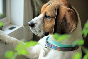 Foster Puppy Luke