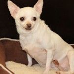 Mill rescue needs a miracle. Help Jemma, the Chihuahua, fly free and shine!
