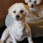 ADOPTED! Romeo – The Bichon Frise Beau