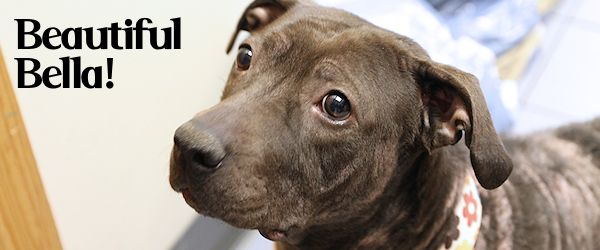 ADOPT Bella! The Formerly Hairless Pit-Belle in Troy, NY!