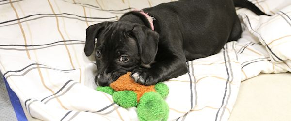 ADOPTED! Isis the Labra-Bull Puppy Wins Home and Hearts!