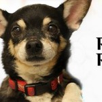 ADOPTED! Chihuahua Ricky Ricardo has TWO Rescue Angels!