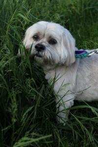 Beamer at Dog House Adoptions