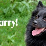ADOPTED! Larry, the hi-larry-ious little Klein German Spitz!