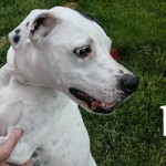 ADOPTED! Molly, the Dalmatian mix, needs mollycoddling no more!
