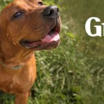 ADOPTED!  Gracie, the Clown of a Copper Coonhound Mix Puppy!