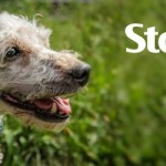 ADOPTED! Stanley, the precious poodle pup found a retirement home!