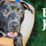 ADOPTED! Ebony Jean! The Best Behaved and Prettiest Pit-Belle Puppy!