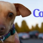 ADOPTED! Happy Capone! The little chihuahua with a great BIG people personality!