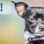 ADOPTED! Nigel, the super smart and friendly Chihuahua mix!