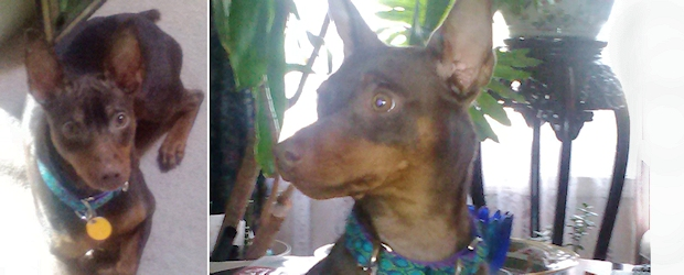 ADOPTED! Trevor Martin the Mischievous Min Pin!